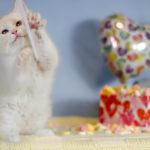 Flame Point bi-Color Kitten