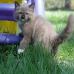 ragdoll in tall grass